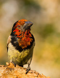 Black Collared Barbet Royalty Free Stock Photography