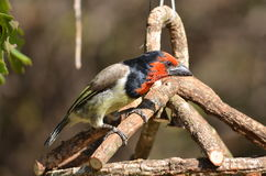 Black collared barbet Royalty Free Stock Images