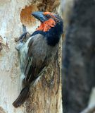 Black-collared Barbet Stock Photos