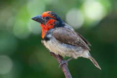 Black-collared barbet. Adult male black-collared barbet stock photos
