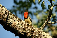 Black Collared Barbet. The bird was in a tree near the rest camp in the Kruger Park Stock Photo