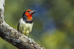 Black-collared Barbet in Kruger National park, South Africa Royalty Free Stock Photography
