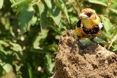 Crested Barbet (Trachyphonus vaillantii) Stock Photo