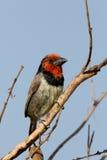 Black-collared barbet, Lybius torquatus Royalty Free Stock Images