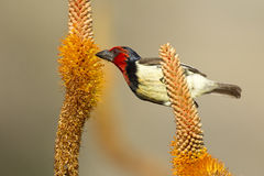 Black Collared Barbet, South Africa. Black Collared Barbet (Lybius torquatus) feeding on the nectar of the Aloe Flowers, Kruger Park, South Africa Royalty Free Stock Photo