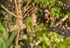 Black-collared Hawk. In the darkness of the rainforest, the victims of the Black-collared Hawk (Busarellus nigricollis) are not aware of it's vigilant presence Royalty Free Stock Photo