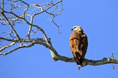 Black-collared Hawk on a Branch Royalty Free Stock Images