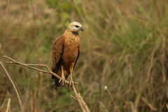 Black-collared hawk, Busarellus nigricollis Stock Image