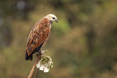Black-collared hawk, Busarellus nigricollis Stock Images