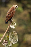 Black-collared hawk, Busarellus nigricollis Royalty Free Stock Photography