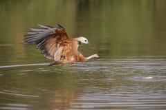 Black-collared hawk, Busarellus nigricollis. Single bird in flight, Brazil Stock Photos