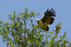Black-Collared Hawk Coming in for a Landing on Treetop Royalty Free Stock Photos