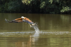 Black Collared Hawk Fishing in River Stock Images