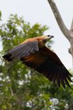 Black Collared Hawk in Flight Royalty Free Stock Images