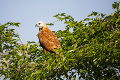 Black Collared Hawk Perched on Bushes against Blue Sky Royalty Free Stock Photo