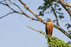 Black Collared Hawk Perched High on Tree Branch,Front View Royalty Free Stock Image