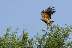 Black-Collared Hawk Taking off from Treetop Stock Photography