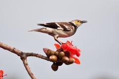 Black-collared star on Red silk cotton tree flower. Black-collared starling standing on Red silk cotton tree flower Royalty Free Stock Photo