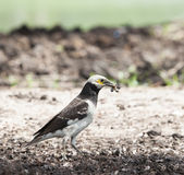 Black collared starling birds feeding on ground with earth worm Royalty Free Stock Image