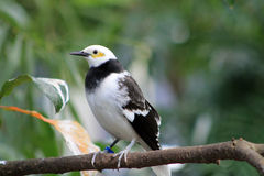 Black Collared Starling Stock Image