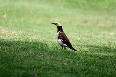 Black-collared starling On Green Grass Stock Images