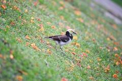 Black-collared starling Stock Photo