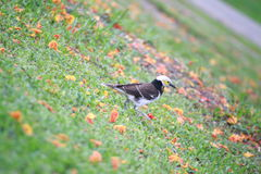 Black-collared starling Stock Photography