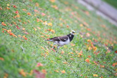Black-collared starling Stock Photos