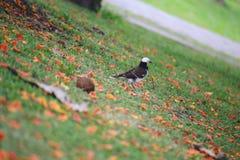 Black-collared starling Royalty Free Stock Photos