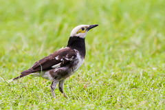 Black-collared Starling. Portrait of bird - Black-collared Starling stock photos
