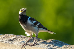 The Black-collared Starling Stock Photo