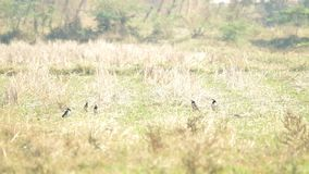 Black-collared starlings in paddy field stock video