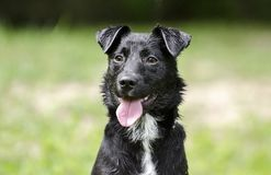 Black Collie mixed breed dog panting tongue Stock Photography