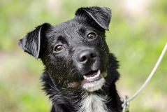 Black Collie mixed breed puppy dog Stock Photo