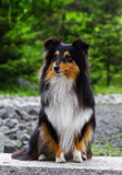 Black collie puppy Royalty Free Stock Images