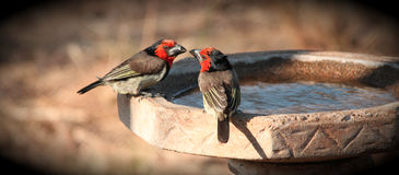 Black Collored Barbets royalty free stock photography