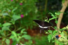 Black color butterfly on a leaf open wings