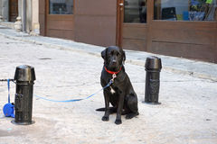 Black color labrador retriever waiting for his owner outside wit Royalty Free Stock Photography