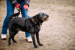 Black color mixed breed dog barking at training. Dangerous dog,. Angry black color mixed breed dog barking at training. Dangerous dog, guard-dog Stock Image