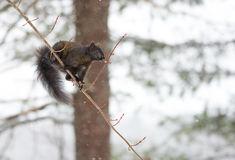 Black colored, common female grey squirrel balances herself on a thin tree branch. Stock Photo