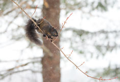 Black colored, common female grey squirrel balances herself on a thin tree branch. Royalty Free Stock Image
