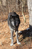 Black colored Grey Wolf Royalty Free Stock Photography