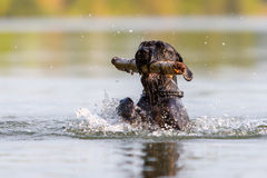 Black colored Standard Schnauzer in water Royalty Free Stock Photos