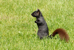 Black coloured squirrel Stock Photos