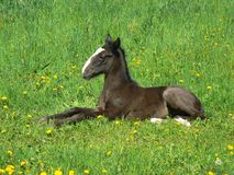 Horse Colt Royalty Free Stock Images