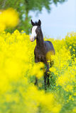 Black colt with blue eyes. Black colt with blue eyes in a yellow field of raps Stock Images