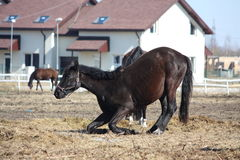 Black colt lying down on the ground. Black 1 year old colt lying down on the ground Stock Image