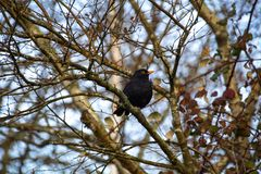 Black common blackbird on a branch of a tree. royalty free stock images