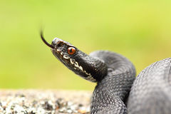 Black common european adder ready to strike. Female black common european adder ready to strike, showing her tongue  Vipera berus ; image taken in Apuseni Royalty Free Stock Photo