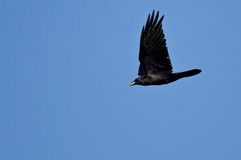 Black Common Raven Flying in a Blue Sky Stock Photo